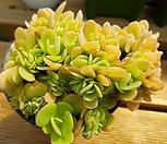 霜之鹤缀化-68_Echeveria Pallida