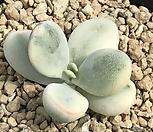 乒乓福娘锦(속叶子장까지錦잘든아이뿌리무)_Cotyledon orbiculata cv variegated