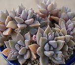 Pik Ruz一体_Graptoveria 'Pik Ruz'