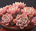 红粉佳人老庄桩3462_Echeveria Pretty in  Pink