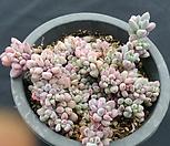 绿豆_Echeveria amoena Microcalyx