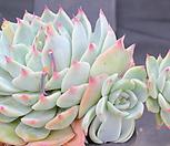 SHIMOYAMA175701_Echeveria SHIMOYAMA Colorata