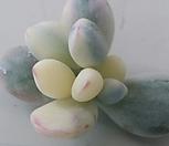 乒乓福娘锦自救4개(뿌리무)_Cotyledon orbiculata cv variegated
