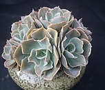 原始种晨光_Echeveria peacockii 'Morning Light'