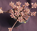 Pik Ruz(合并)_Graptoveria 'Pik Ruz'