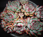 花月夜(老庄)一体自然_Echeveria pulidonis