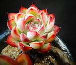 花月夜木質化_Echeveria pulidonis