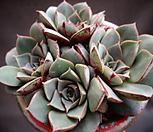 罗西马(벨바라紫心)一体_Echeveria longissima