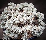 格诺玛(一体왕大品)_Dudleya White gnoma(White greenii / White sprite)