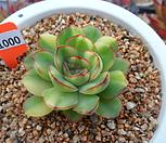花月夜錦4-1000_Echeveria pulidonis