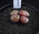 XP1595-ConophytumwittebergenseRR714墨小锥4头_Conophytum Wittebergense