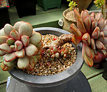 红葡萄一体群生4-610_Graptoveria Ametum