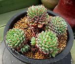 小红衣自然群生4-617_Echeveria globulosa