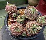 小红衣自然群生4-618_Echeveria globulosa