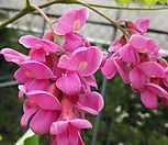 꽃도큼직하고색감도넘좋은(粉色아카시아)_