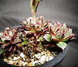 特价-aztatlensis老庄_Echeveria longissima var aztatlensis