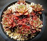 aztatlensis(自然)老庄_Echeveria longissima var aztatlensis