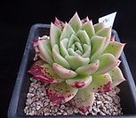 姬胧月191_Graptoveria Gilva