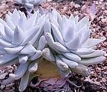 格诺玛桩群生_Dudleya White gnoma(White greenii / White sprite)