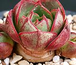 老庄丸葉罗西马_Echeveria longissima