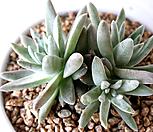 格诺玛-55_Dudleya White gnoma(White greenii / White sprite)
