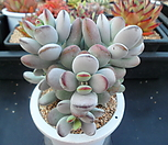 乒乓福娘自然群生4-1047_Cotyledon orbiculata cv