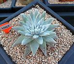 格诺玛4-1067_Dudleya White gnoma(White greenii / White sprite)