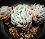 original星影_Echeveria elegans Potosina