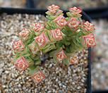 老庄彩色蜡笔한뿌리_Crassula Rupestris variegata