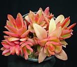 火祭錦15-_Crassula Americana cv.Flame