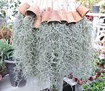 틸란드시아(미세먼지공기정화식물)야자수컵_