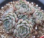 原始种姬莲45_Echeveria Minima