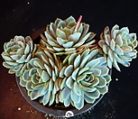 双贝瑞42_Echeveria 'Twin Berry'