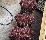 紫羊绒缀化大品_Aeonium Velour