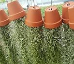 수염틸란드시아(독일토분)-공중식물/행잉플랜트/에어플랜트/공기정화식물_