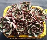 原始种罗西马_Echeveria longissima