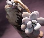 老庄星美人_Pachyphytum oviferum