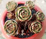 丸葉罗西马7头群生-50_Echeveria longissima