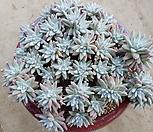 格诺玛自然群生60头~_Dudleya White gnoma(White greenii / White sprite)