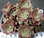 罗西马.벨바라_Echeveria longissima
