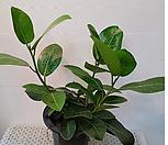 뱅갈고무나무(공기정화식물)_