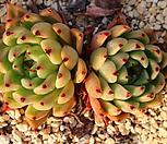 原始绿爪SP_Echeveria mexensis 'Zaragosa'