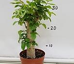 녹宝珠(大박나무)-19_Sedum dendroideum