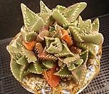 四海波8-230_Faucaria tigrina