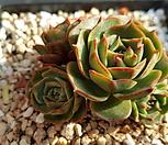 丸葉罗西马[계절성錦}_Echeveria longissima