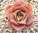 原始种罗西马2988_Echeveria longissima