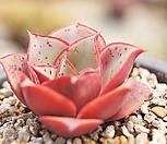 原始种罗西马2989_Echeveria longissima