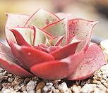 原始种罗西马2992_Echeveria longissima