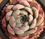澳大利亚野生卡罗拉1447_Echeveria colorata