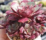 原始种罗西马桩群生一体_Echeveria longissima